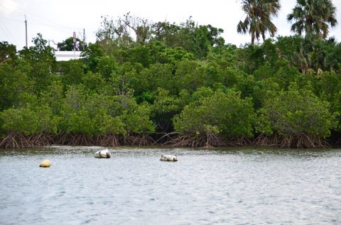 仲間川マングローブクルーズで見たサキシマスオウノキの姿(西表島)
