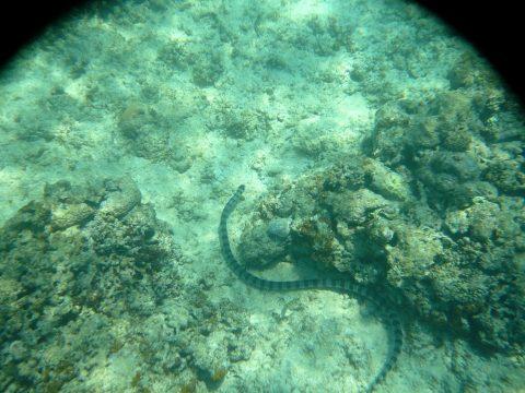 来間島の長間浜のウミヘビ