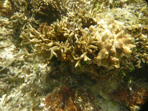 吉野海岸のサンゴ礁