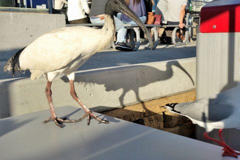 シドニー・フィッシュマーケットでテラス席に飛んで来る海鳥