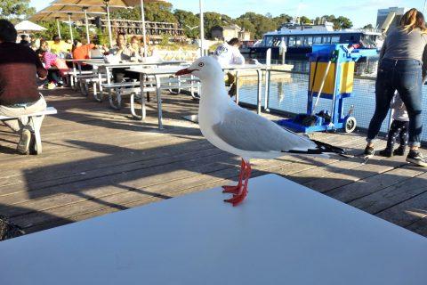シドニー・フィッシュマーケットの海鳥