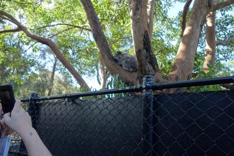 taronga-zooでコアラを見る