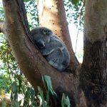 タロンガ動物園で【コアラ】に会える?シドニーで見るカンガルーとワニ