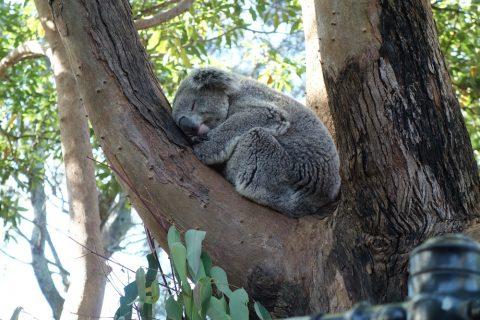 taronga-zooのコアラの寝顔