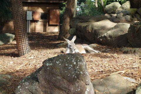 taronga-zooのワラビー