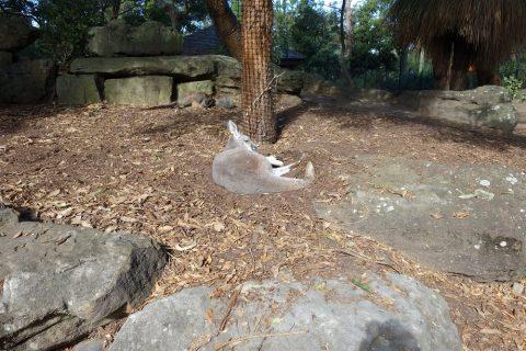 taronga-zooでワラビーを見る