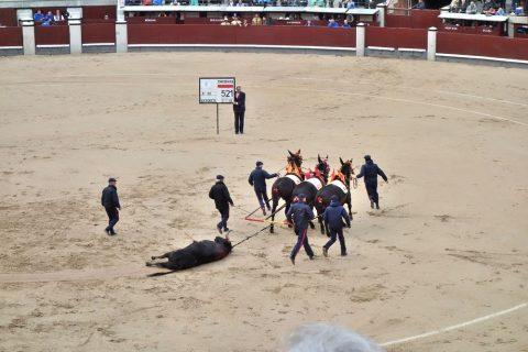 ラバ隊によって引きずられる闘牛