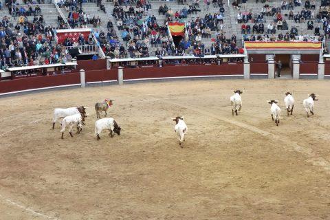 沢山の牛が闘牛を追いやる/ラスベンタス闘牛場