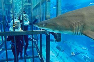 dubai-aquarium/サメ