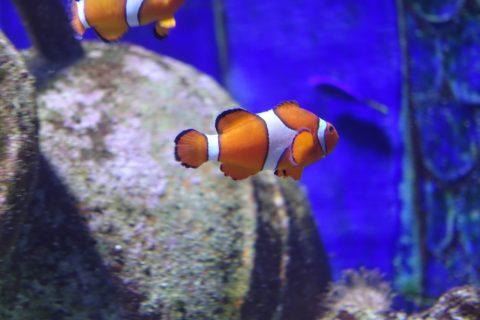 lost-chambers-aquarium/ニモ