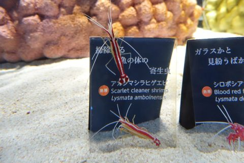 nifrel/えび