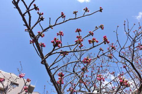 sakura-no-toorinuke/紅手毬のつぼみ