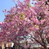大阪造幣局「桜の通り抜け」今年の開花状況をレポート!