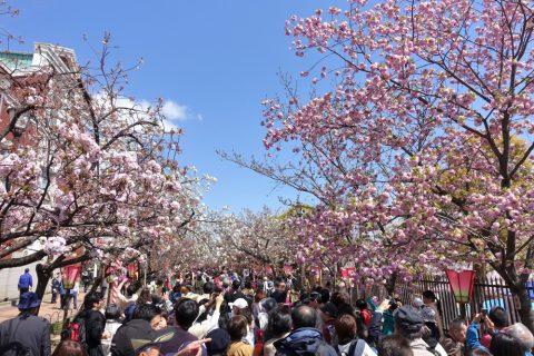 sakura-no-toorinuke/桜の見頃