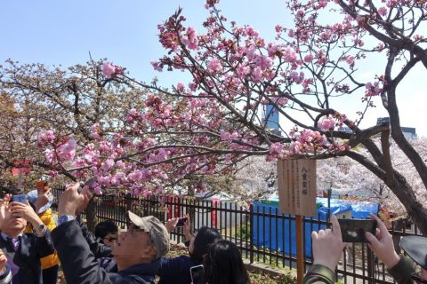sakura-no-toorinuke/ピンクの桜
