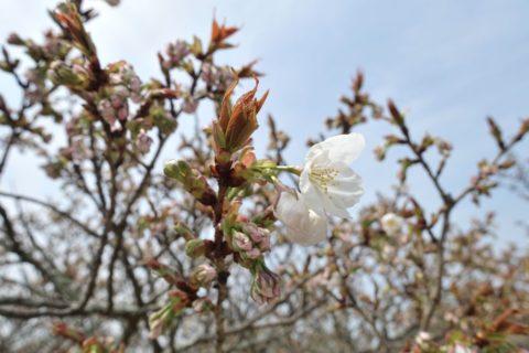 仁和寺/御室桜のつぼみ