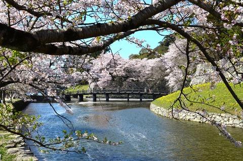 彦根城 桜 (4)