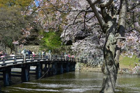 彦根城 桜 (8)
