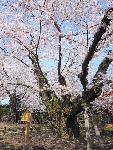 弘前城の桜 (5)