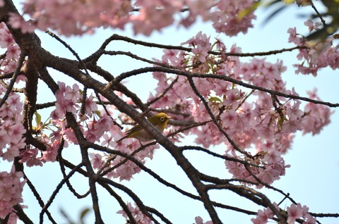河津桜 (12)