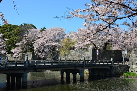 彦根城 桜 (3)