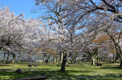彦根城 桜 (11)