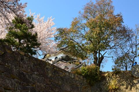 彦根城 桜 (9)
