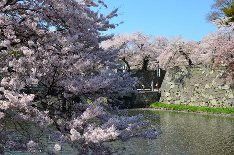彦根城 桜 (1)