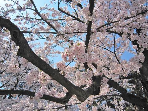 弘前城の桜 (1)