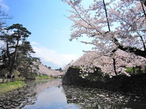 弘前城の桜 (7)