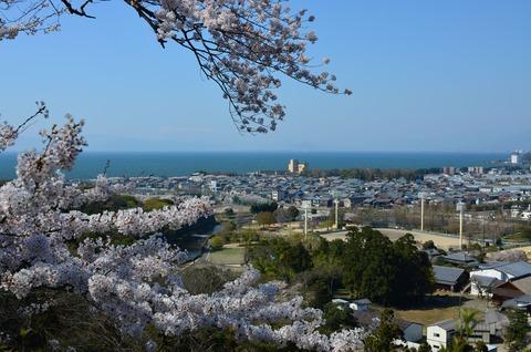 彦根城 桜 (10)