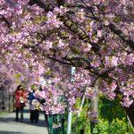 早咲きの濃いピンク【河津桜】を見に行こう!河津町は麗らかな春の訪れを感じるベストスポット!