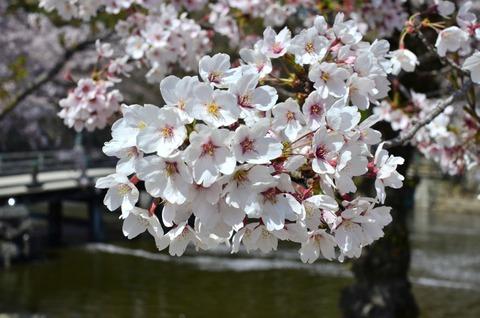 彦根城 桜 (7)